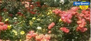 रंग बिरेंगे गुलाबों से महका नौणी विश्वविद्यालय